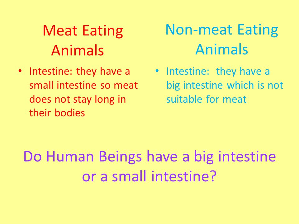 Meat Eating Animals Intestine: they have a small intestine so meat does not stay long in their bodies Intestine: they have a big intestine which is no