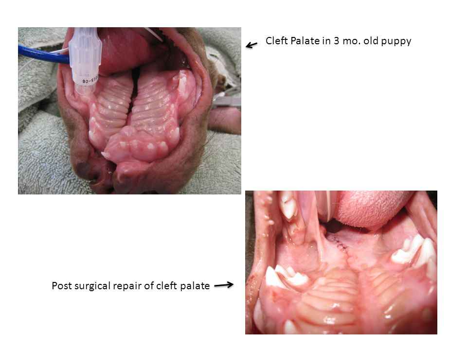 Cleft Palate in 3 mo. old puppy Post surgical repair of cleft palate