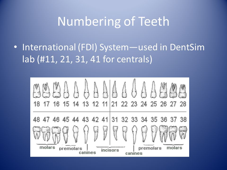 Numbering of Teeth International (FDI) Systemused in DentSim lab (#11, 21, 31, 41 for centrals)