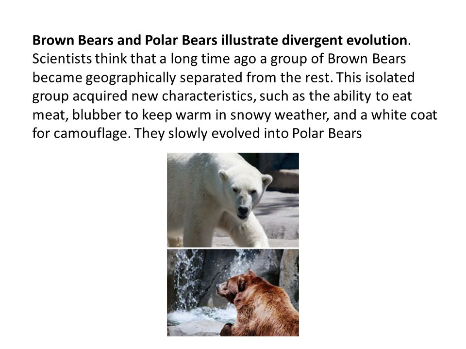 Brown Bears and Polar Bears illustrate divergent evolution. Scientists think that a long time ago a group of Brown Bears became geographically separat