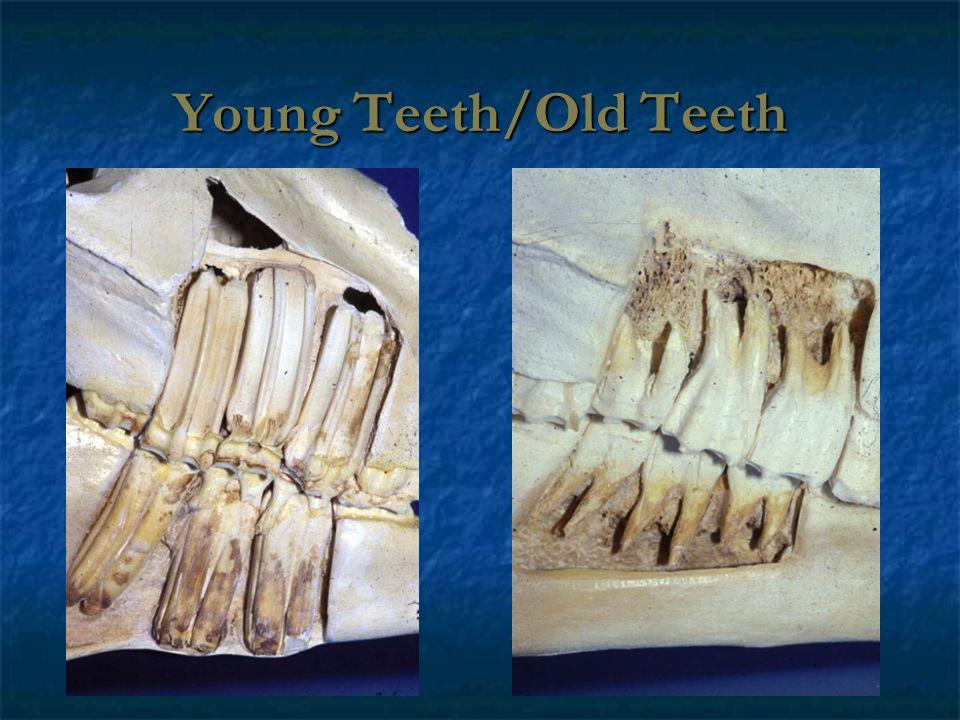 Young Teeth/Old Teeth