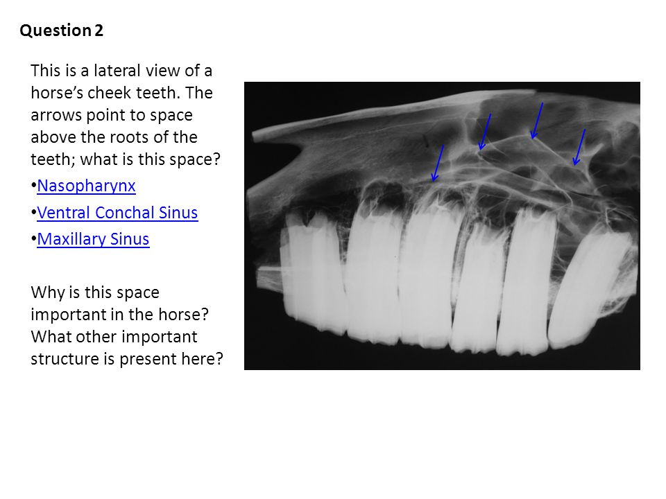 Question 2 This is a lateral view of a horses cheek teeth.