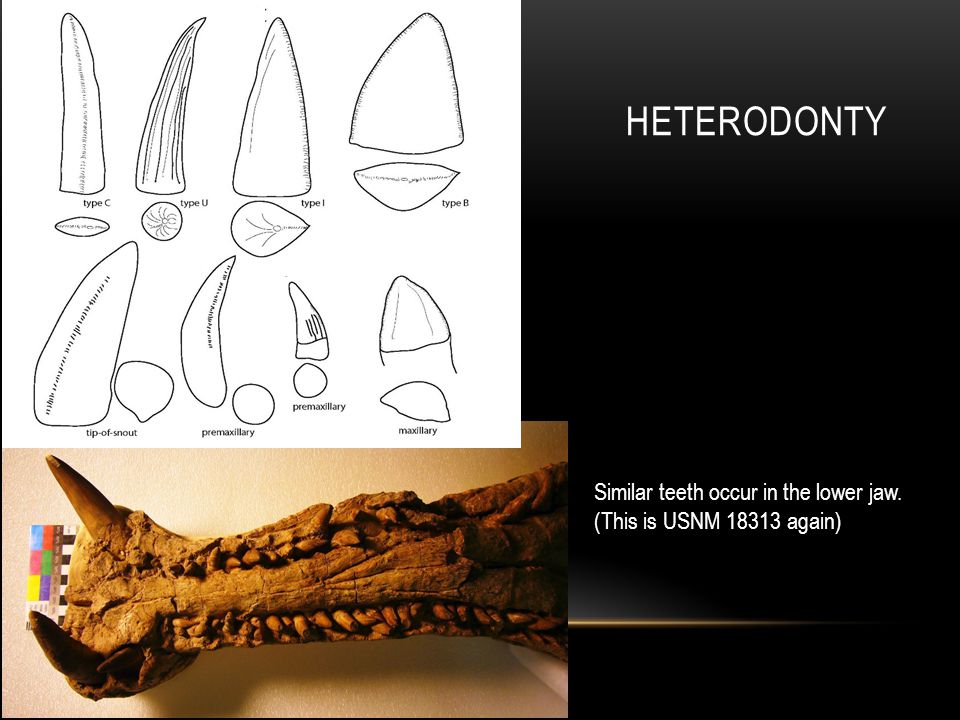 HETERODONTY Similar teeth occur in the lower jaw. (This is USNM 18313 again)