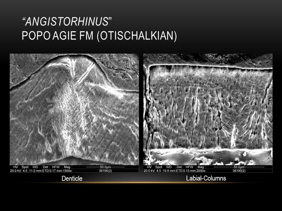 ANGISTORHINUS POPO AGIE FM (OTISCHALKIAN) Denticle Labial-Columns