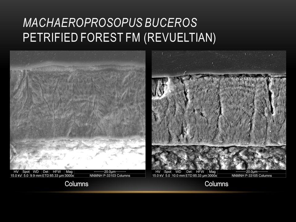 MACHAEROPROSOPUS BUCEROS PETRIFIED FOREST FM (REVUELTIAN) Columns