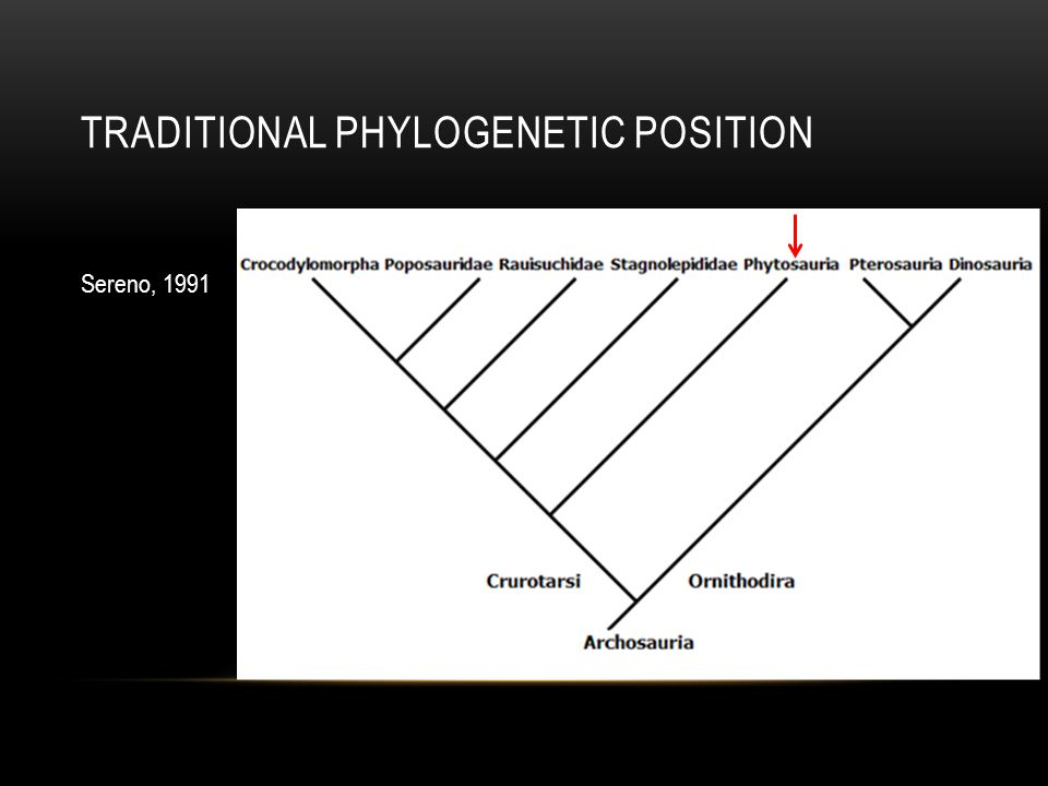 TRADITIONAL PHYLOGENETIC POSITION Sereno, 1991