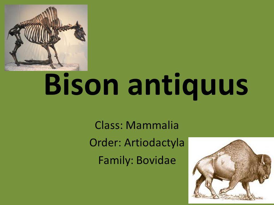Bison antiquus Class: Mammalia Order: Artiodactyla Family: Bovidae