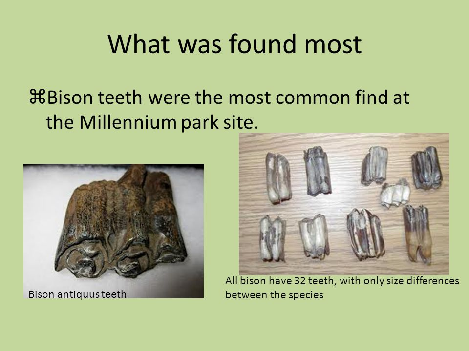 What was found most Bison teeth were the most common find at the Millennium park site. Bison antiquus teeth All bison have 32 teeth, with only size di