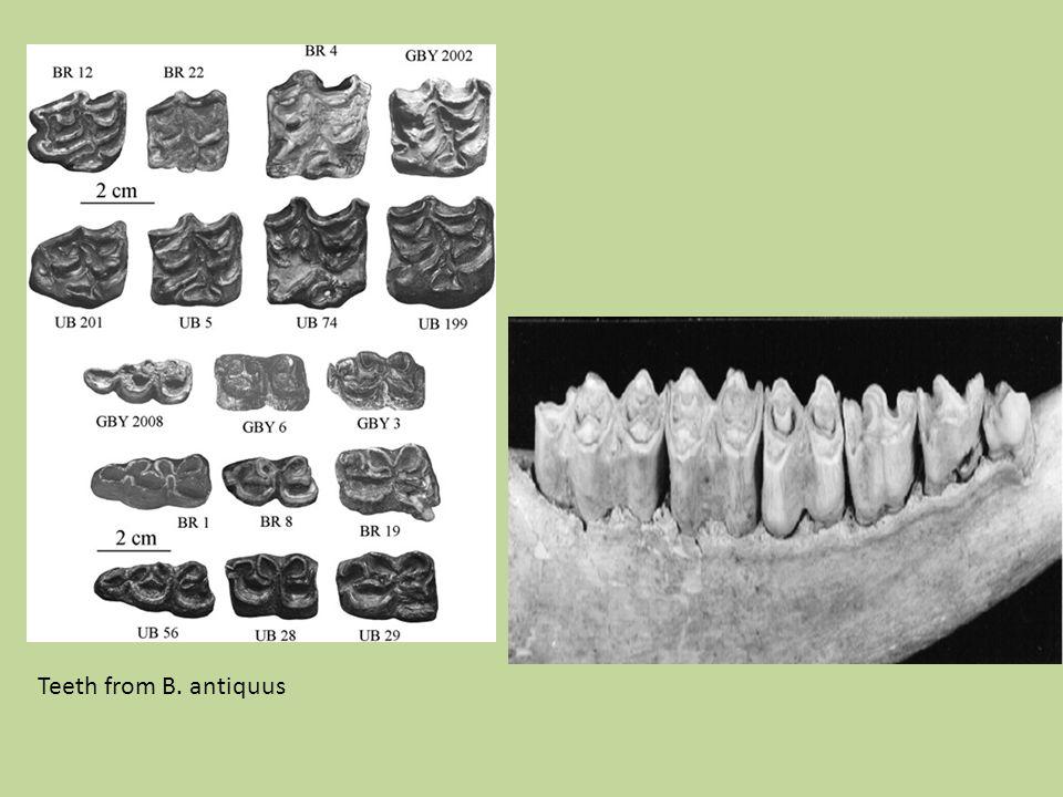 Teeth from B. antiquus
