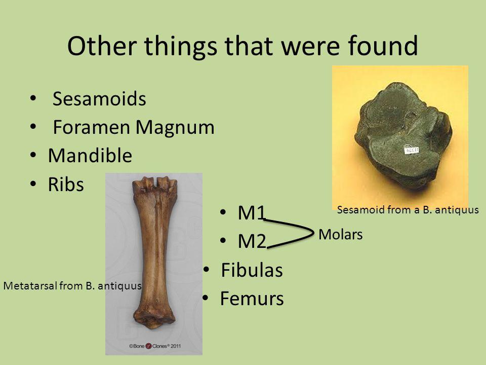 Other things that were found Sesamoids Foramen Magnum Mandible Ribs M1 M2 Fibulas Femurs Sesamoid from a B.