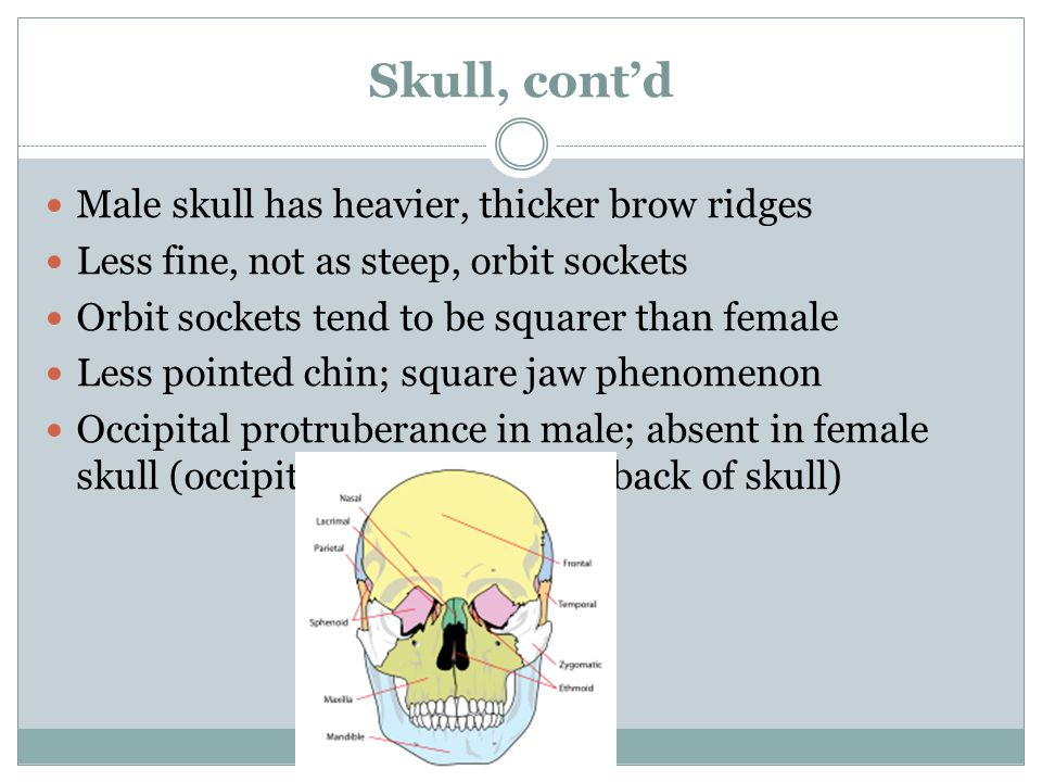 Skull, contd Male skull has heavier, thicker brow ridges Less fine, not as steep, orbit sockets Orbit sockets tend to be squarer than female Less pointed chin; square jaw phenomenon Occipital protruberance in male; absent in female skull (occipital bone of skull in back of skull)