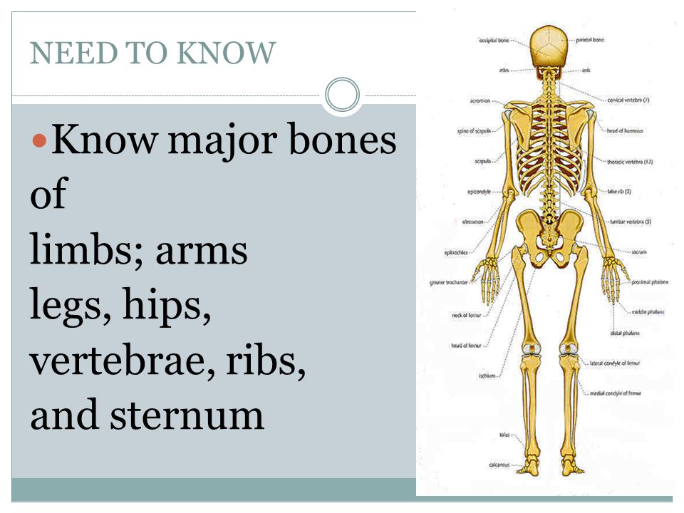 NEED TO KNOW Know major bones of limbs; arms legs, hips, vertebrae, ribs, and sternum