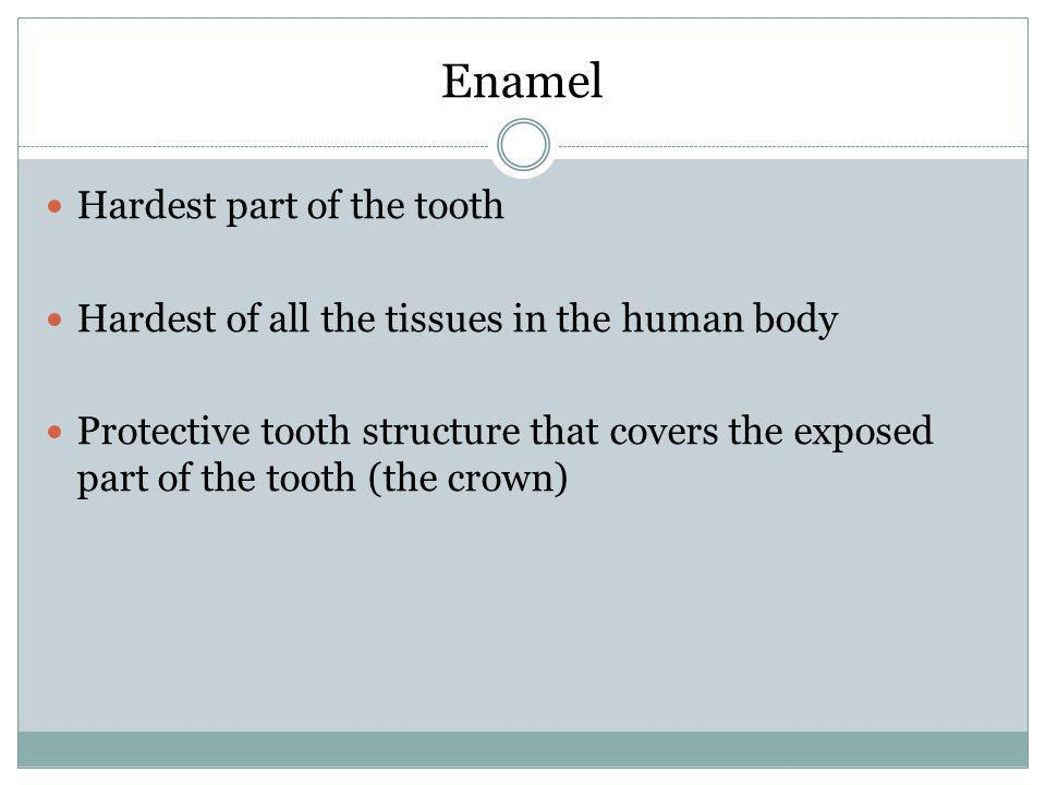 Enamel Hardest part of the tooth Hardest of all the tissues in the human body Protective tooth structure that covers the exposed part of the tooth (th
