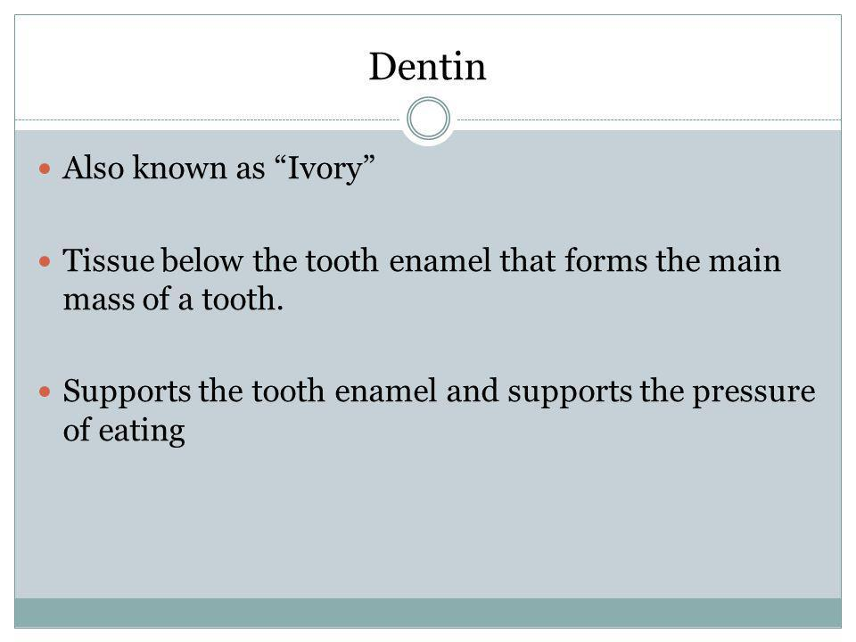 Dentin Also known as Ivory Tissue below the tooth enamel that forms the main mass of a tooth. Supports the tooth enamel and supports the pressure of e
