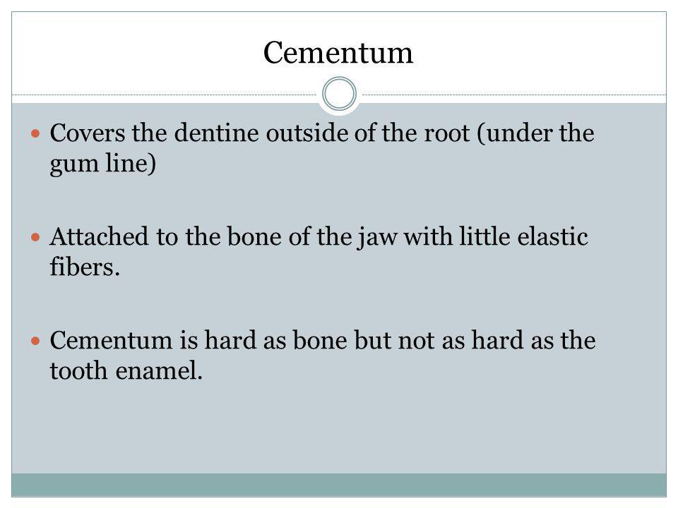 Cementum Covers the dentine outside of the root (under the gum line) Attached to the bone of the jaw with little elastic fibers. Cementum is hard as b