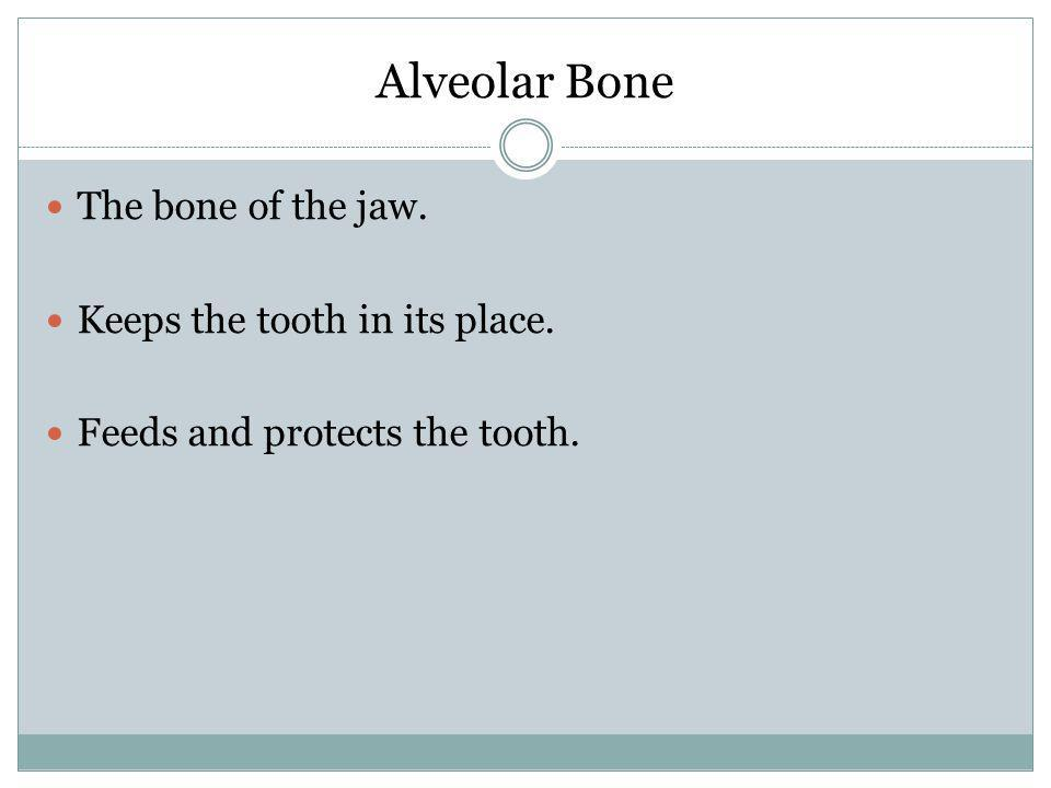 Alveolar Bone The bone of the jaw. Keeps the tooth in its place. Feeds and protects the tooth.