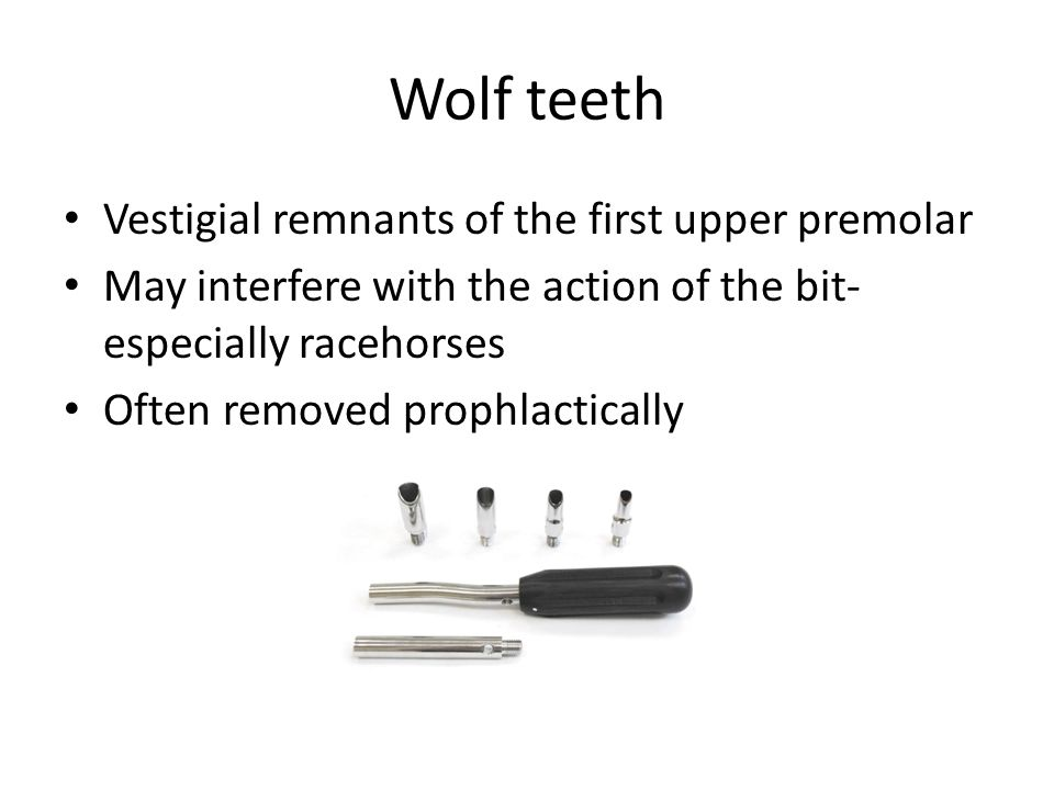 Wolf teeth Vestigial remnants of the first upper premolar May interfere with the action of the bit- especially racehorses Often removed prophlactically