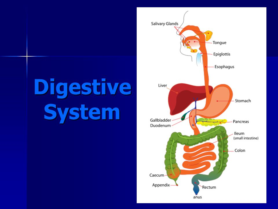 Organs of the Digestive Tract 5.Large Intestine (1.5 meters long) a)Undigested food spends 18–24 hours here, and most of the water is absorbed.