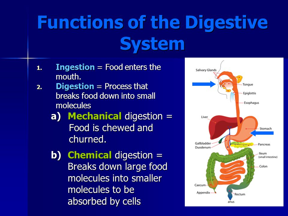 Organs of the Digestive Tract 4.Large Intestine (1.5 meters long) a)Undigested food spends 18–24 hours here, and most of the water is absorbed.