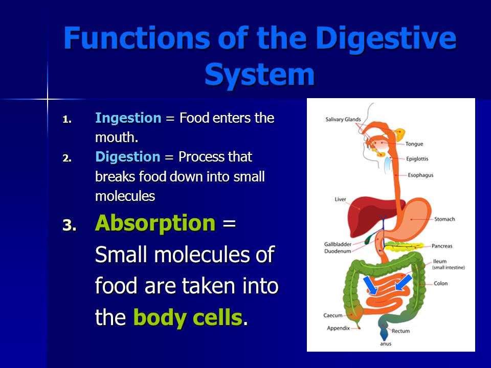 Functions of the Digestive System 1.Ingestion = Food enters the mouth.