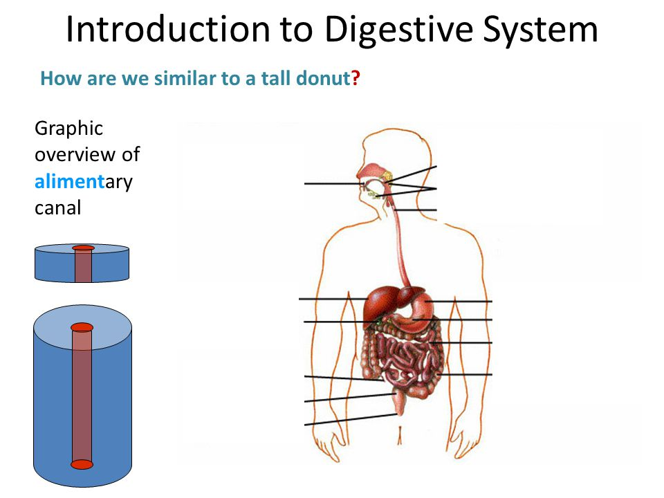 Graphic overview of alimentary canal How are we similar to a tall donut? Introduction to Digestive System