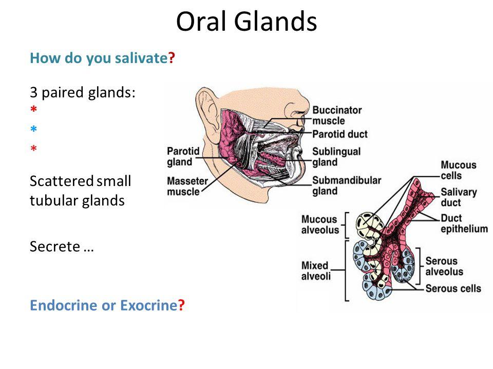 3 paired glands: * * * Scattered small tubular glands How do you salivate? Secrete … Endocrine or Exocrine? Oral Glands