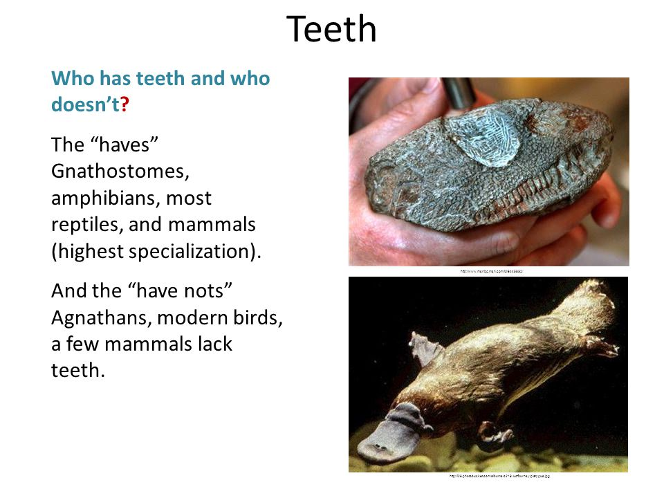 Teeth Who has teeth and who doesnt? The haves Gnathostomes, amphibians, most reptiles, and mammals (highest specialization). And the have nots Agnatha