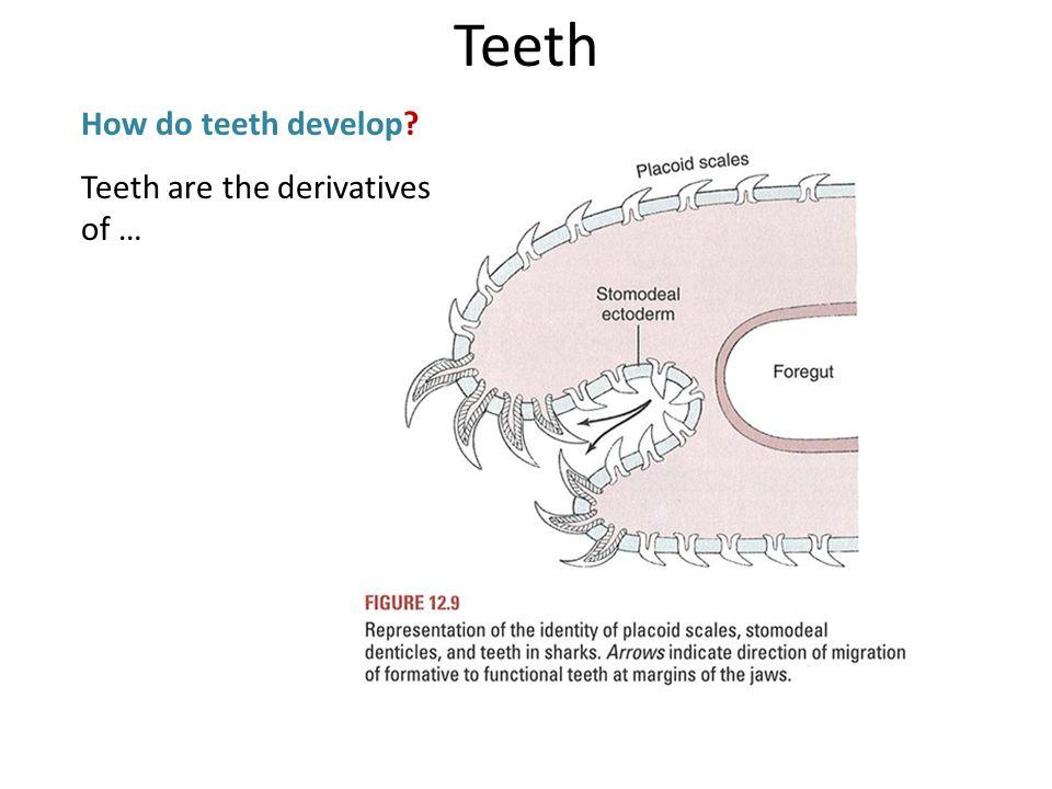 Teeth How do teeth develop? Teeth are the derivatives of …