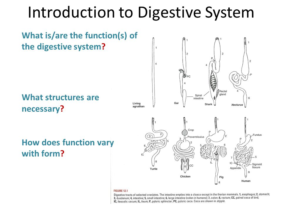 What is/are the function(s) of the digestive system.