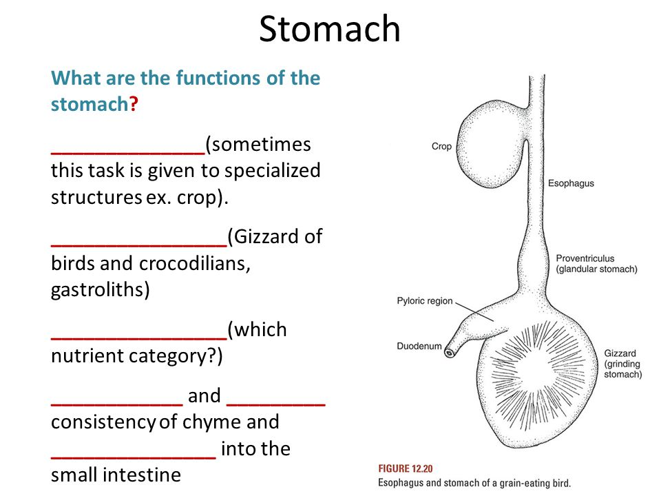 What are the functions of the stomach? ______________(sometimes this task is given to specialized structures ex. crop). ________________(Gizzard of bi