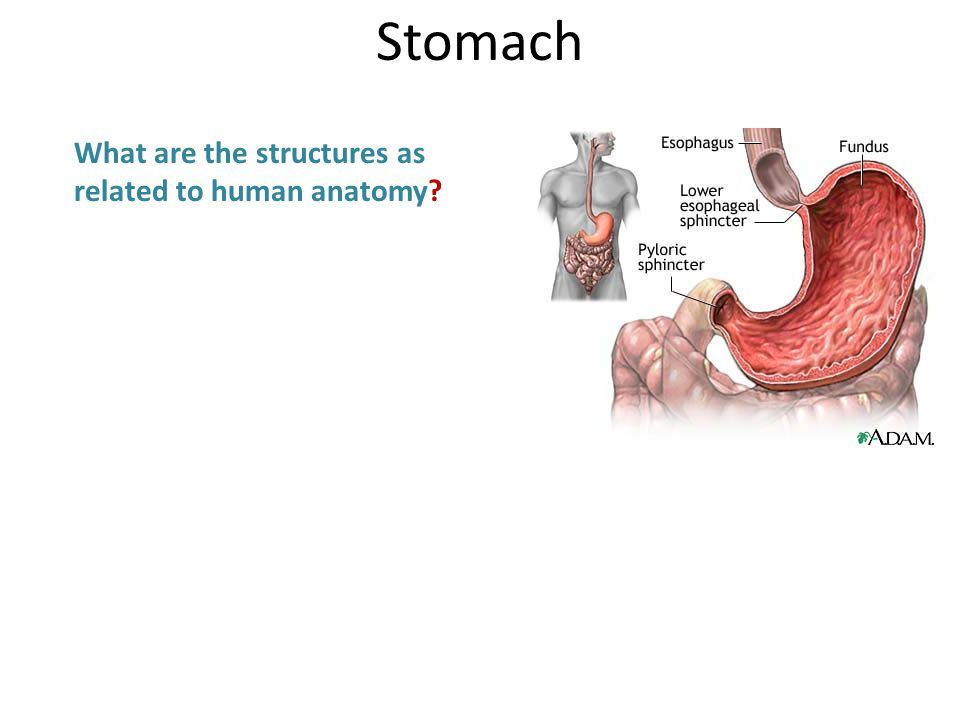 What are the structures as related to human anatomy Stomach