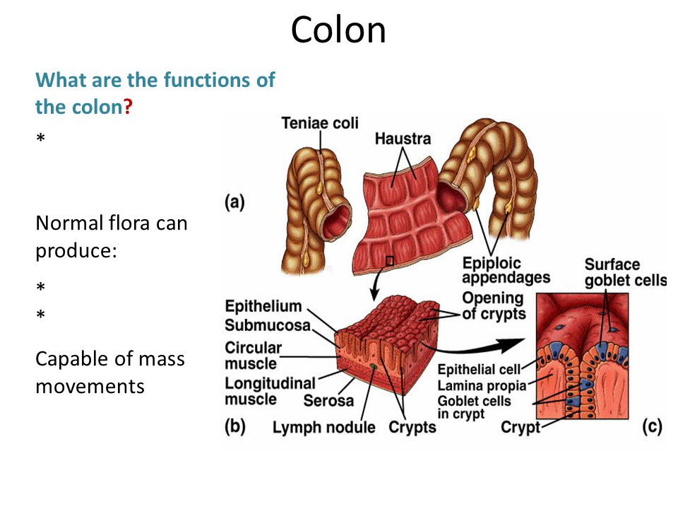 * Normal flora can produce:* Capable of mass movements What are the functions of the colon? Colon