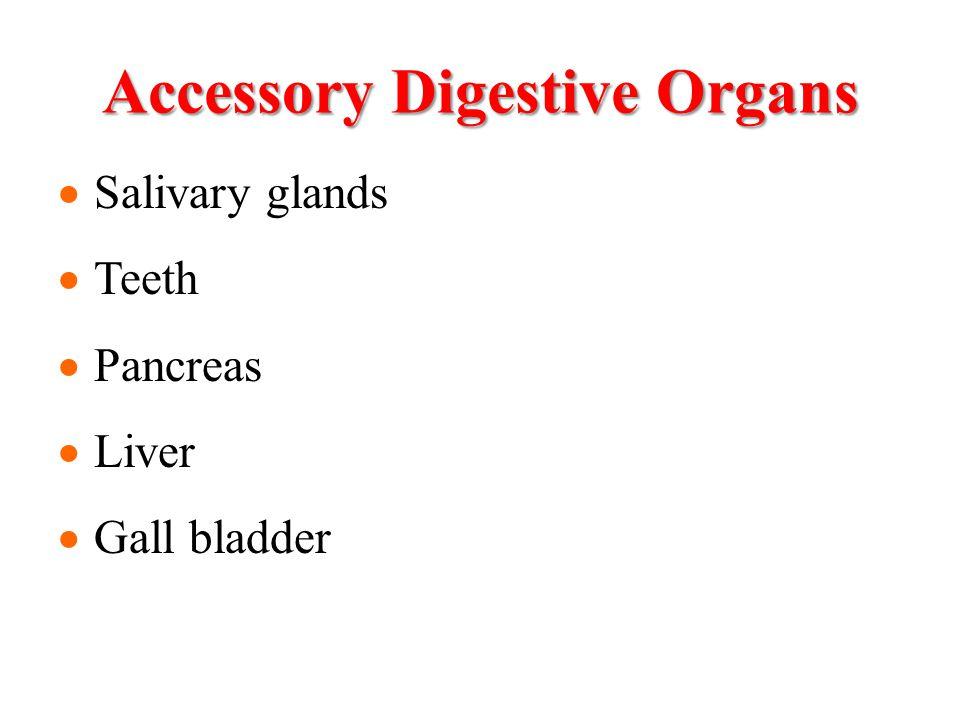Accessory Digestive Organs Salivary glands Teeth Pancreas Liver Gall bladder