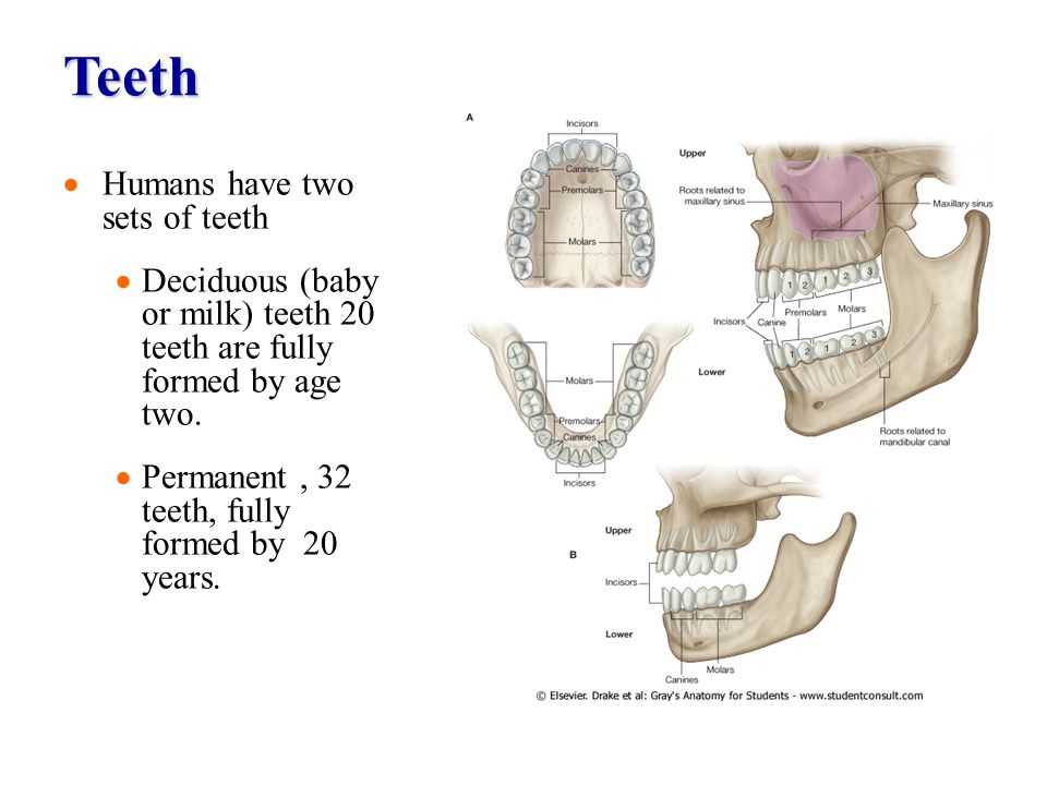 Teeth Humans have two sets of teeth Deciduous (baby or milk) teeth 20 teeth are fully formed by age two. Permanent, 32 teeth, fully formed by 20 years