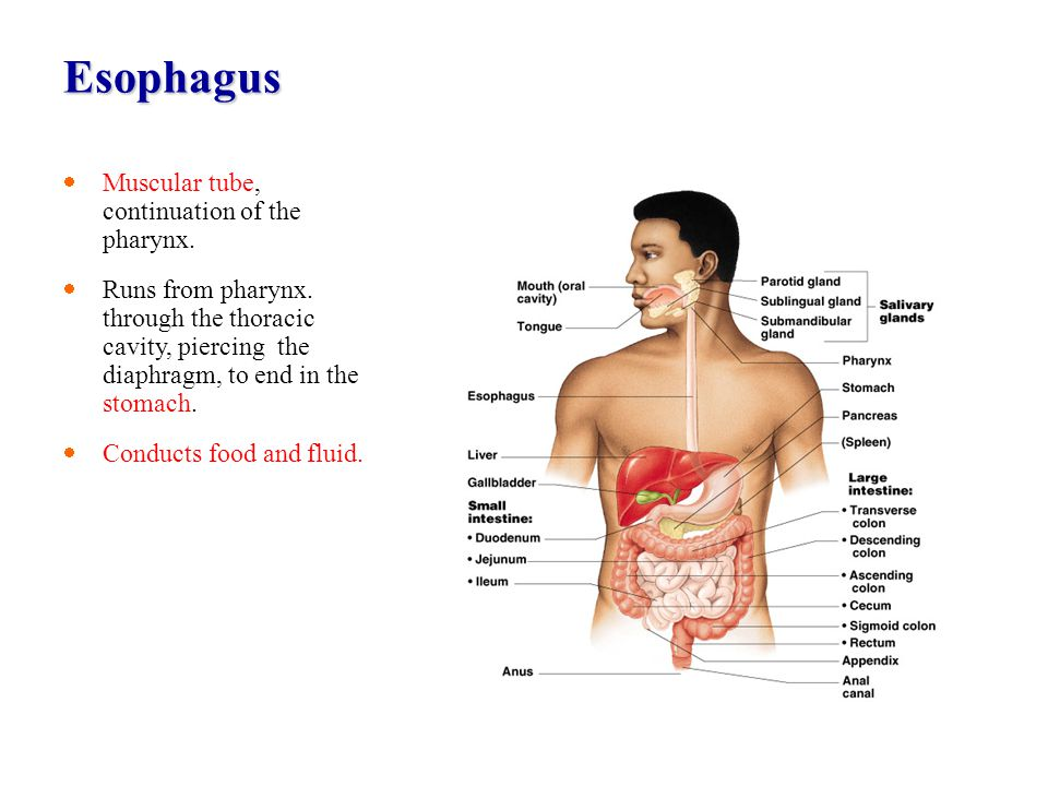 Esophagus Muscular tube, continuation of the pharynx. Runs from pharynx. through the thoracic cavity, piercing the diaphragm, to end in the stomach. C