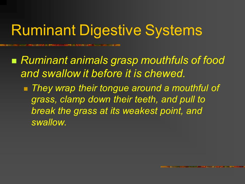 Ruminant Digestive Systems Ruminant animals grasp mouthfuls of food and swallow it before it is chewed. They wrap their tongue around a mouthful of gr
