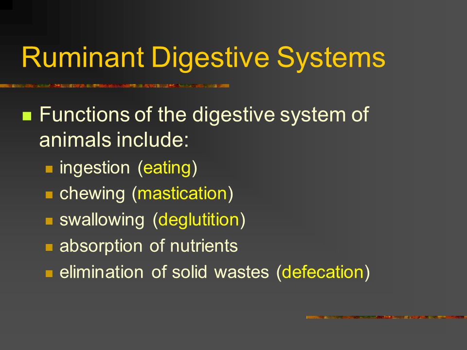 Ruminant Digestive Systems Small Intestine - where most of the food material is absorbed into the bloodstream Contains three sections: duodenum jejunum ileum