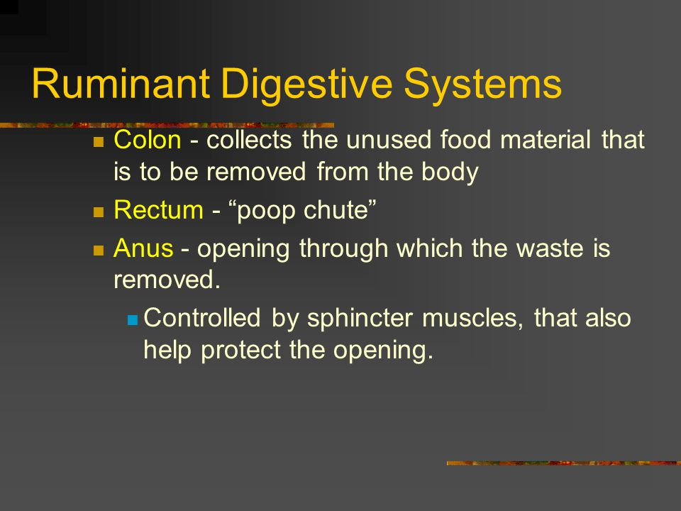 Ruminant Digestive Systems Colon - collects the unused food material that is to be removed from the body Rectum - poop chute Anus - opening through wh