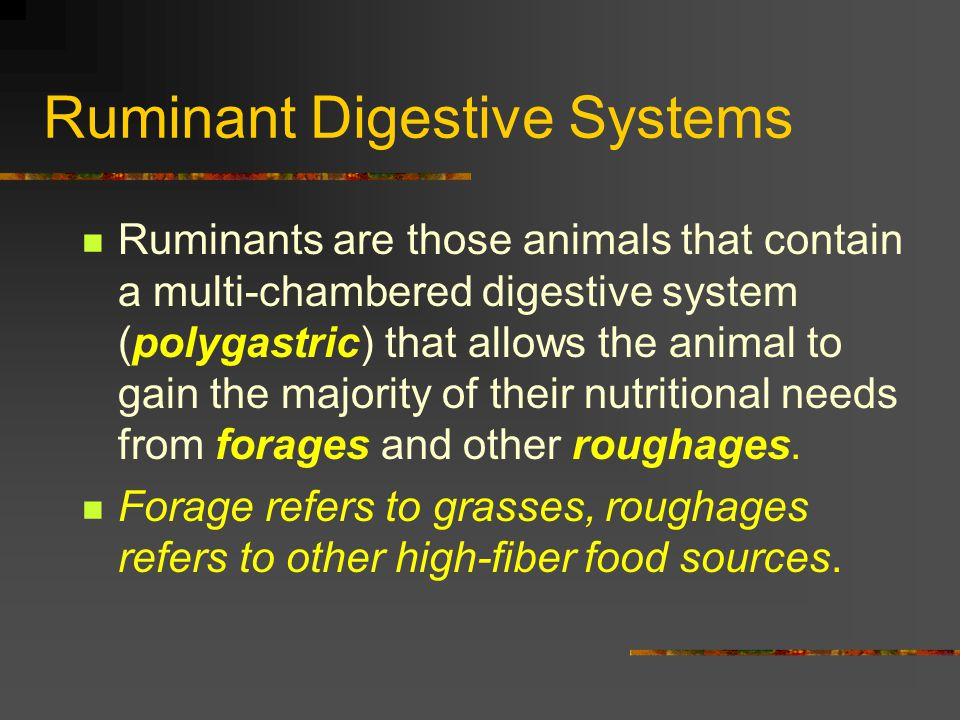 Ruminant Digestive Systems Ruminants willchew their cud (regurgitate) their food material and then grind it with their molars at a time when the animal is resting.