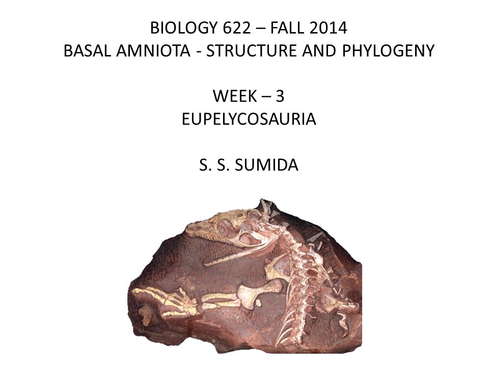 BIOLOGY 622 – FALL 2014 BASAL AMNIOTA - STRUCTURE AND PHYLOGENY WEEK – 3 EUPELYCOSAURIA S.