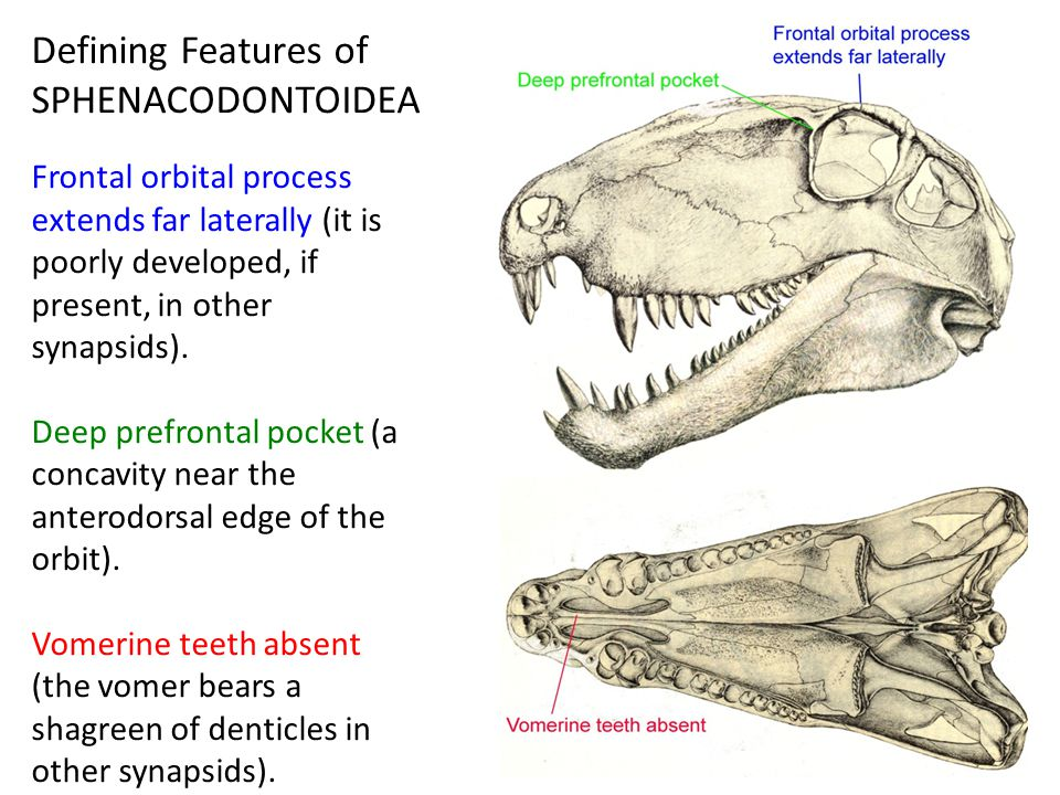 Defining Features of SPHENACODONTOIDEA Frontal orbital process extends far laterally (it is poorly developed, if present, in other synapsids).