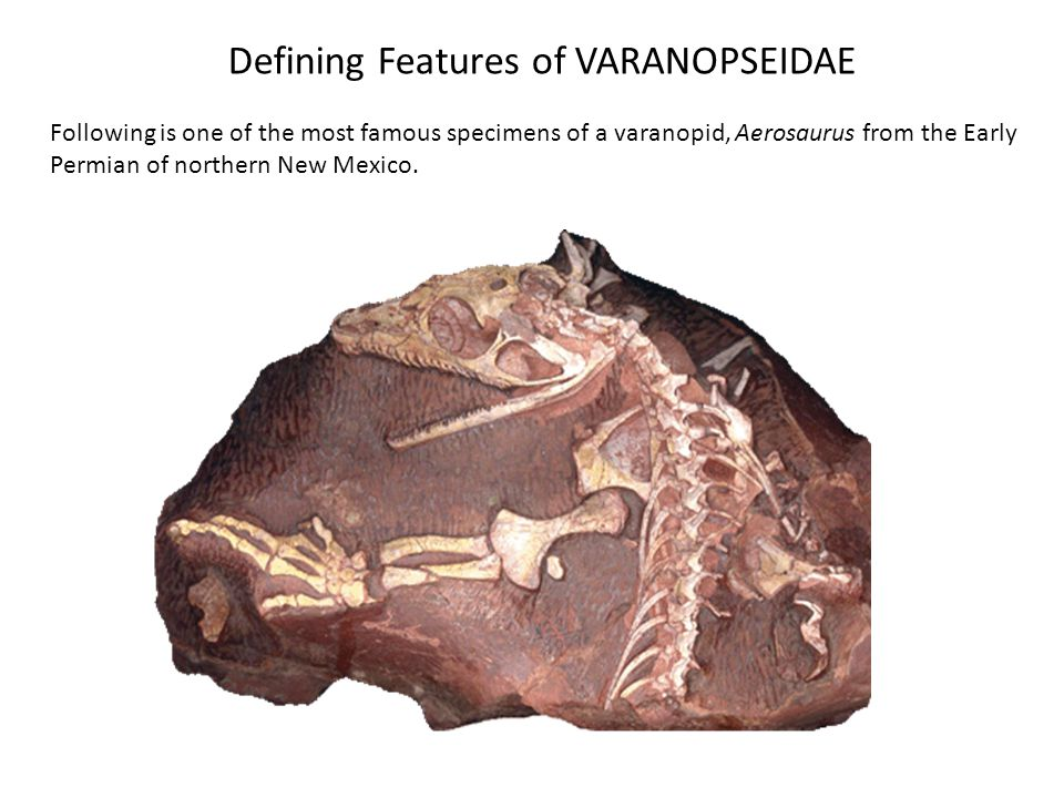 Defining Features of VARANOPSEIDAE Following is one of the most famous specimens of a varanopid, Aerosaurus from the Early Permian of northern New Mexico.
