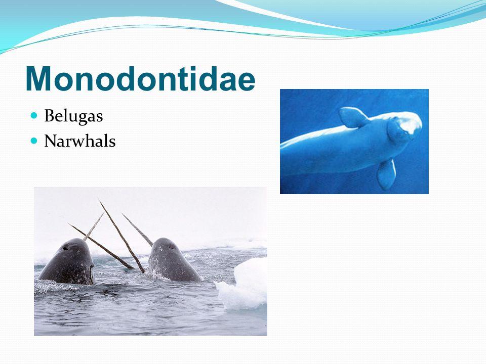Monodontidae Belugas Narwhals