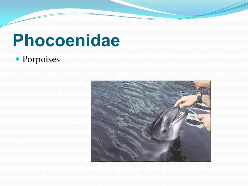 Phocoenidae Porpoises