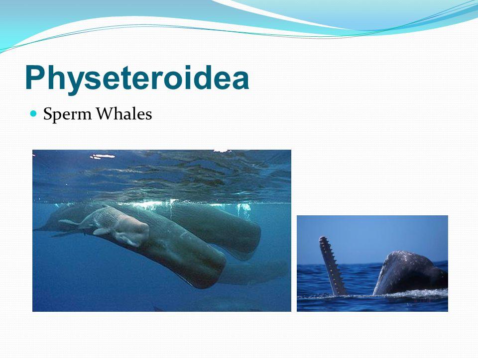 Physeteroidea Sperm Whales