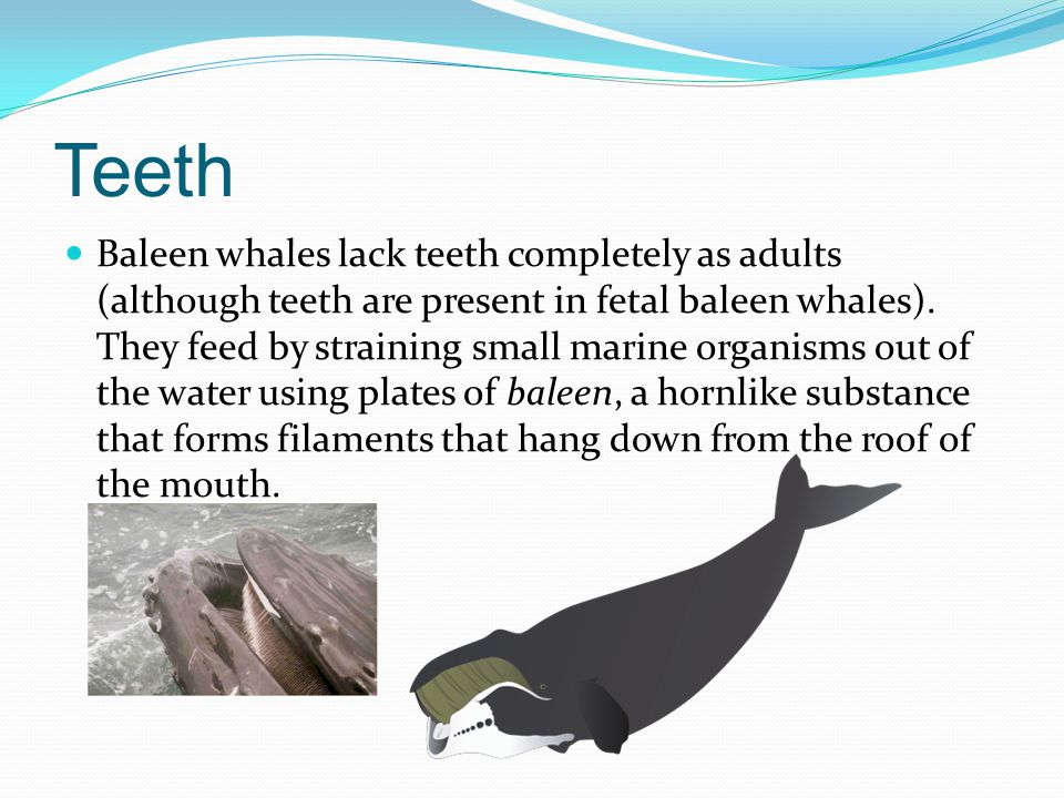 Teeth Baleen whales lack teeth completely as adults (although teeth are present in fetal baleen whales). They feed by straining small marine organisms