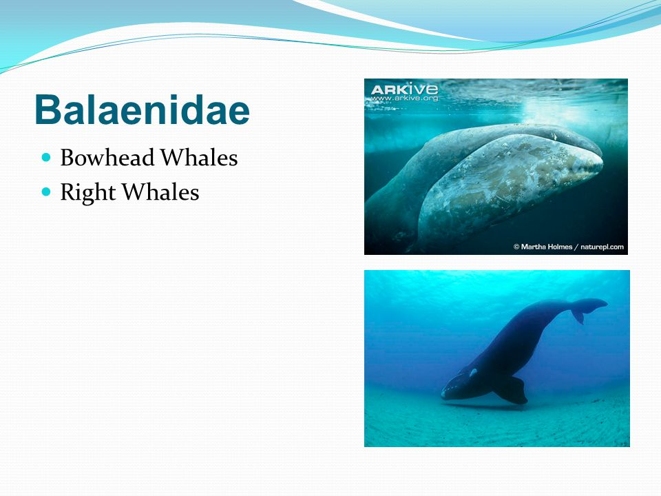 Balaenidae Bowhead Whales Right Whales