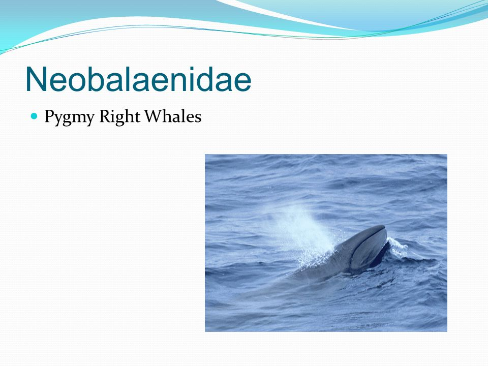 Neobalaenidae Pygmy Right Whales