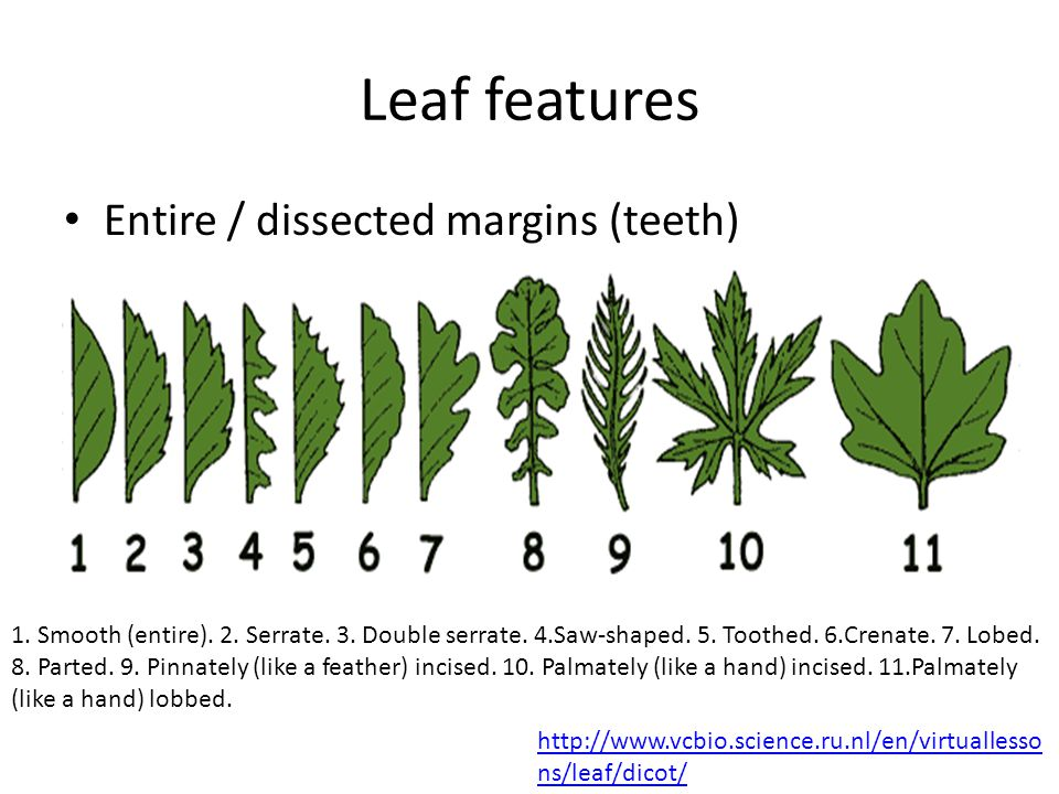 Leaf features Entire / dissected margins (teeth) 1. Smooth (entire). 2. Serrate. 3. Double serrate. 4.Saw-shaped. 5. Toothed. 6.Crenate. 7. Lobed. 8.