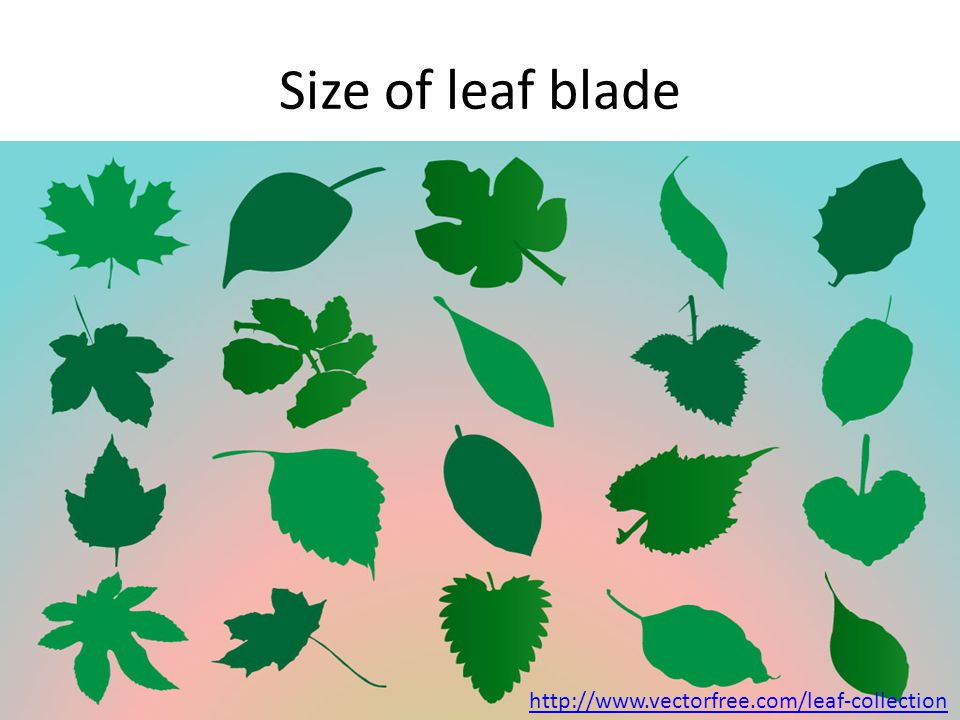 Size of leaf blade http://www.vectorfree.com/leaf-collection